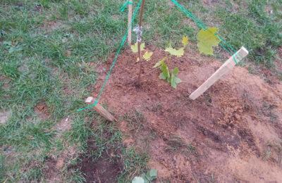 О посадке деревьев и кустарников